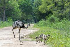 Greater Rhea or Grey Rhea Rhea Americana with chicks crossing a path Pantanal Stock Photos