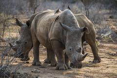 White rhino Ceratotherium simum with Redbilled hackers Buphagus Kuvituskuvat