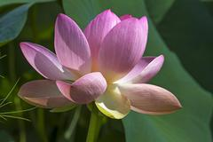 Indian lotus also sacred lotus or bean of India Nelumbo nucifera - stock photo