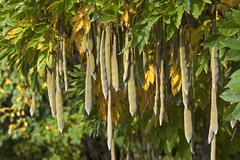 Japanese wisteria Wisteria floribunda seedpods Bavaria Germany Europe - stock photo