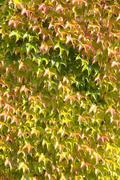 Woodbine Parthenocissus tricuspidata autumn colours facade Germany Europe - stock photo