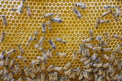 European honey bees Apis mellifera on honeycomb in hive queen in middle - stock photo