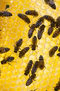 European honey bees Apis mellifera on honeycomb in hive - stock photo