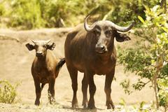 Stock Photo of Cape buffalo Syncerus caffer with calf Kruger National Park South Africa Africa