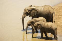 African bush elephants Loxodonta africana at waterhole Kruger National Park Stock Photos