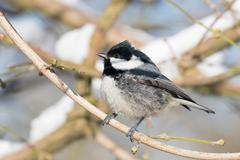 Coal tit Parus ater perched on branch Hesse Germany Europe - stock photo