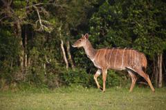 Nyala or inyala Tragelaphus angasii female Eastern Cape South Africa Africa - stock photo