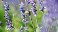 Blue Salvia (salvia farinacea) flowers blooming in the garden, Breeze in wind. Stock Footage