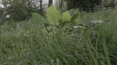 A mature dandelion with dock leaves ready for germination shot in super Stock Footage