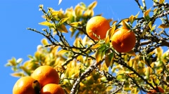 Mature flesh orange hanging in the tree Stock Footage