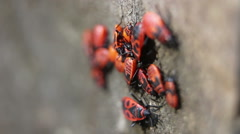 Close up of  firebugs Stock Footage
