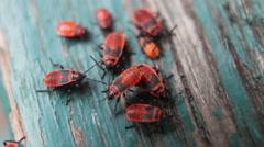 Macro shot of  firebugs Stock Footage