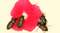 Black bugs isolated on white and a pink flower Stock Footage