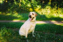 White Labrador Retriever Dog Sitting In Green Grass, Forest Park Stock Photos
