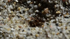 Antlion larva is praying ant Stock Footage