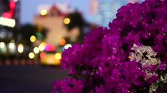 "Bougainvillea or Paper flowers (Vietnamese: ""Hoa giay"") Stock Footage"