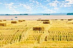 Stock Photo of Bales of straw rectangular and sky