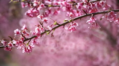 Cherry blossom, sakura flowers Stock Footage