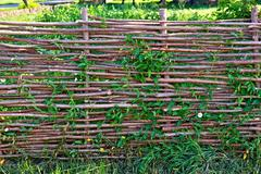 Fence wicker willow with bindweed Stock Photos