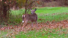 A deer stands in a grassy field. Stock Footage