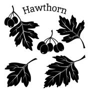 Hawthorn Leaves and Fruits Pictograms - stock illustration