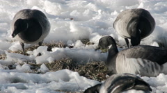 Geese eating on snow Stock Footage