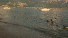 Ducks Swim Near the Shore of Lake Como Stock Footage