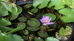 Purple Lotus Flower in a bowl in Penang Stock Footage