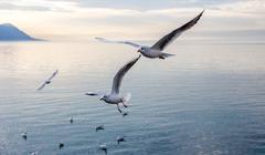 Gulls over Geneva lake Kuvituskuvat