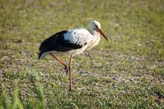Portrait of a white stork - stock photo
