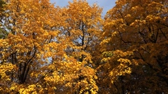Poplar tree with yellow leaves. Autumn. - stock footage