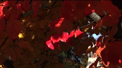 Red leaves of the bird-cherry tree. Autumn. Stock Footage