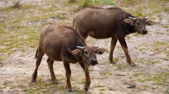 Herd of water buffaloes grazing in a field Stock Footage