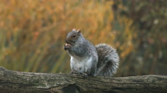 A squirrel eating a nut in central park during the fall Stock Footage