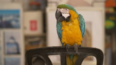 Cute colorful parrot Stock Footage