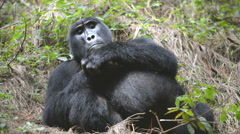 Mountain gorilla in the impenetrable Forest in Uganda, Bwindi National Park, Afr Stock Footage