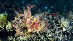 Ambon Scorpionfish Turning around Stock Footage