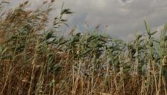 Common reed (phragmites australis) bending with the wind Stock Footage