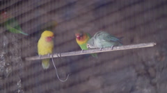 Canary birds in cage Stock Footage