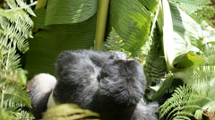 Mountain gorilla in Uganda, Bwindi National Park, Afr top view Stock Footage