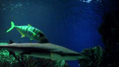 Cat sharks in the Blue Water Stock Footage