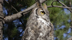 Tight shot of great horned owl hooting in a tree. Stock Footage