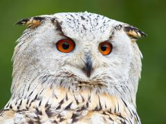 Portrait of an Eagle Owl Stock Photos