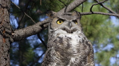 Close shot of great horned owl looking around in a tree. Stock Footage