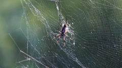 Giant wood spider on the web - stock footage