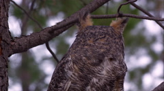 Tight shot of great horned owl looking around in a tree. Stock Footage