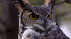 Close shot of great horned owl's head swiveling and hooting. Stock Footage