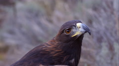 Tight shot of golden eagle's head looking around. Stock Footage