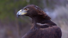 Tight shot of golden eagle's head. Tilt down to body and feathers. Stock Footage