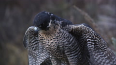 Perched peregrine falcon rustling its feathers. - stock footage